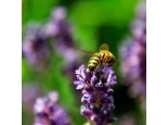 Raw Honey from Wild lavender Portugal