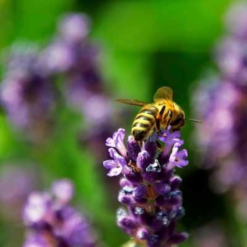 Roher Honig Wild Lavendel